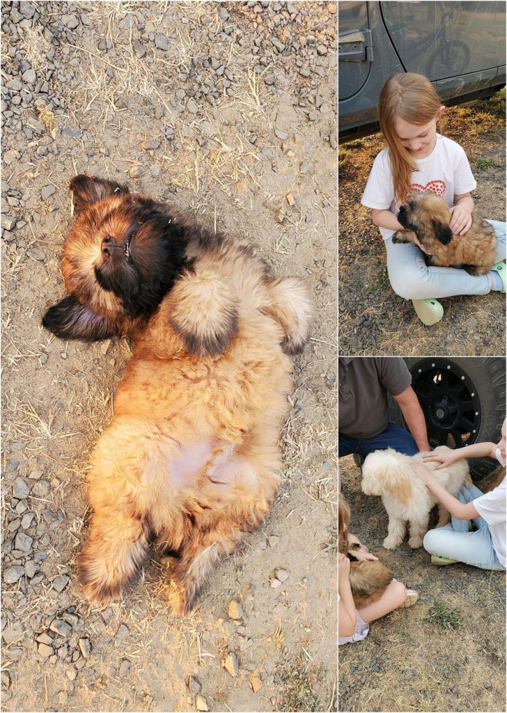 Adorable Wheaten Puppy at FunWheatens.com
